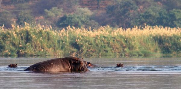 Sunyi hippok